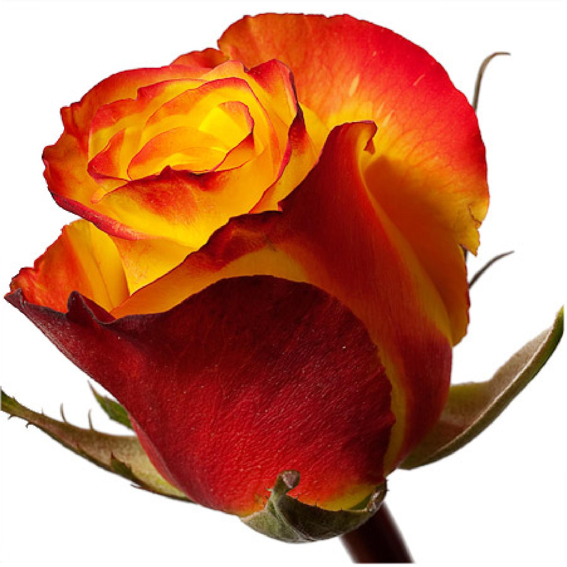 Роза хей мэджик фото 2