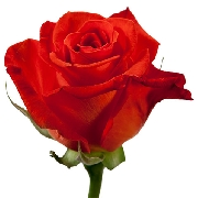 Паст тайм 70см роза agrinag